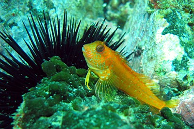 A blenny (Parablennius pilicornis), in Arvoredo Marine Biological Reserve, south Brazil.