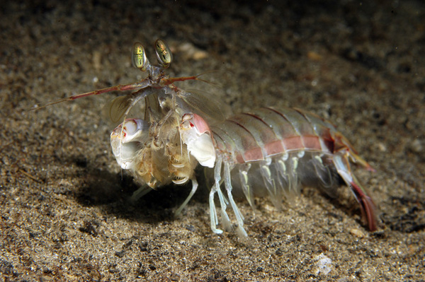 A mantis shrimp showing his raptorial appendages.  This one is a slasher!