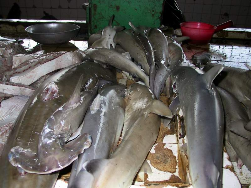 A hammerhead shark pup in the midst of other sharks in Sandakan