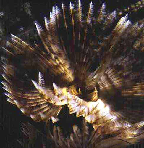 A sabellid polychaete extends its radioles to feed.