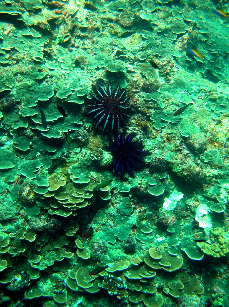 A pair of crown of thorns starfish  feeding on coral