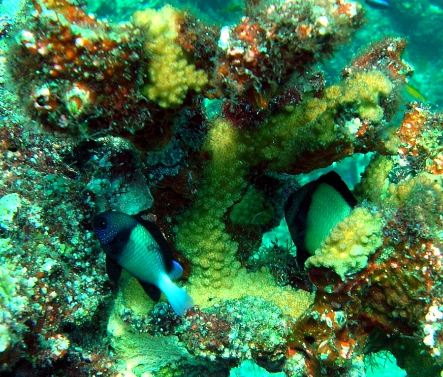 A pair of Indian hambug (Dascyllus carneus) hiding under branching coral