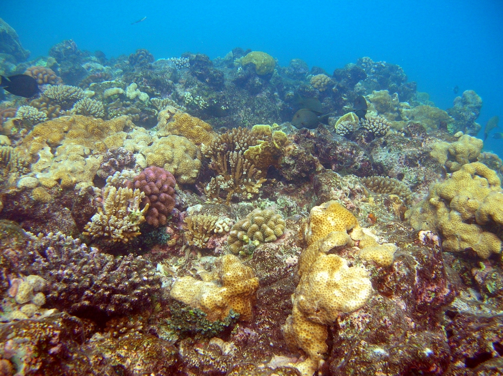 Coral regrowth at reef top